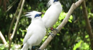 Begawan Foundation, Bali Starlings, birds, conservation, wildlife, village, Indonesia, Bali, tourists, visitors, Melinggih Kelod, Banjar Begawan