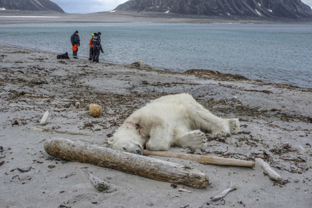 Svalbard, polar bear, attack, cruise, tui, Hapag, ship, attack, killed